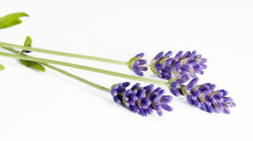 Fresh lavender Royalty Free Stock Photography