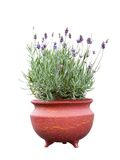 Fresh lavender in terracotta pot. Lavender herb plant in flower growing in a terracotta pot, over white background stock image