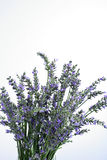 Fresh lavender on white background Royalty Free Stock Photo