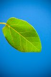 Fresh leaf Royalty Free Stock Image