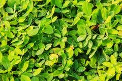 Fresh leaf Royalty Free Stock Image