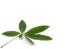 Fresh Leaf Royalty Free Stock Photography