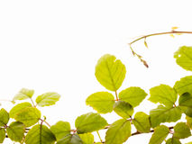 Fresh leaf Royalty Free Stock Photo