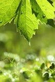 Fresh leaf background Royalty Free Stock Images