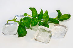 Fresh leaf of basil Royalty Free Stock Images