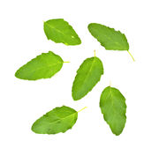 Fresh leaf of basil Royalty Free Stock Photos