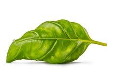 Fresh leaf of basil  on white background. Stock Photos