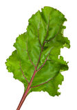 Fresh leaf beet root Stock Photography