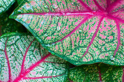 Fresh leaf Caladium Stock Image