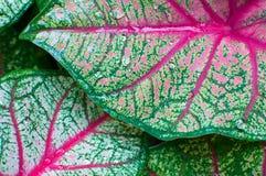 Fresh leaf Caladium. At background Stock Image