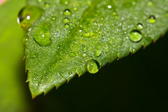 Fresh leaf with dew drops Stock Photography