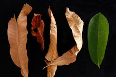 Fresh leaf among dried and dead leaves Royalty Free Stock Photo