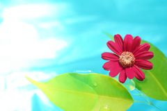 Fresh leaf and flower in purity water.  Royalty Free Stock Image