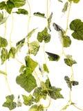 Fresh leaf Stock Image