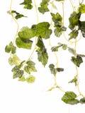 Fresh leaf Stock Images