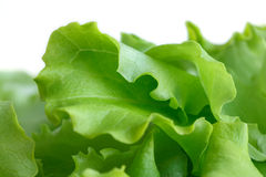 Fresh leaf lettuce. Detail of fresh leaf lettuce with white background Stock Photo
