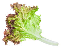 Fresh leaf of Lollo rosso lettuce isolated Royalty Free Stock Photography