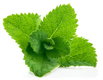 Fresh leaf mint Royalty Free Stock Image