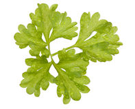 Fresh leaf of parsley. Bright green leaf of parsley isolated on white Royalty Free Stock Photography