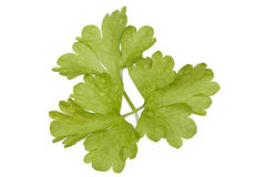 Fresh leaf of parsley. Bright green leaf of parsley isolated on white Royalty Free Stock Photos