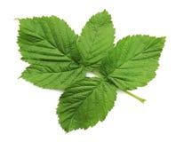 A fresh leaf of a raspberry bush Royalty Free Stock Photos