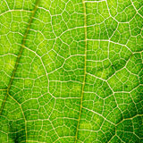 Fresh leaf texture or leaf background for design with copy space for text or image. Abstract green leaf texture. Pumpkin leaves Royalty Free Stock Photo