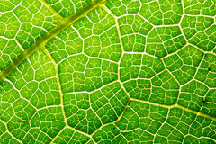 Fresh leaf texture or leaf background for design with copy space for text or image. Abstract green leaf texture. Pumpkin leaves Royalty Free Stock Photography