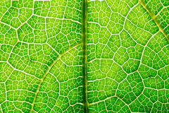 Fresh leaf texture or leaf background for design with copy space for text or image. Abstract green leaf texture. Pumpkin leaves Royalty Free Stock Photos