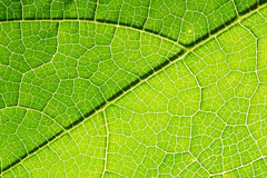 Fresh leaf texture or leaf background for design with copy space for text or image. Abstract green leaf texture. Pumpkin leaves Stock Photos