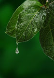 Fresh leaf with water drop falling. Royalty Free Stock Photography