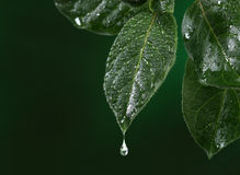 Fresh leaf with water drop falling Royalty Free Stock Image