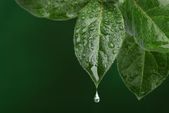 Fresh leaf with water drop falling. Royalty Free Stock Image