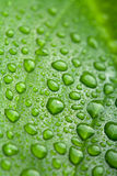 Fresh leaf with water droplets Royalty Free Stock Image