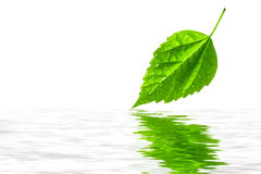 Fresh leaf with water reflection Royalty Free Stock Photography