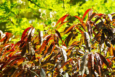 Fresh leafs. Fresh spring red - green leafs under the sun rays Royalty Free Stock Photo