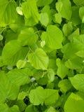 Fresh leafs Royalty Free Stock Photo