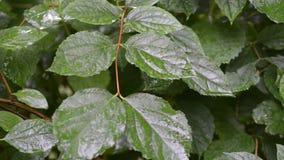 Rainy green bush. Fresh leafs of green bush by summer under rain stock video