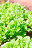 Fresh leafy garden greens. Stock Images
