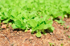 Fresh leafy garden greens Stock Photography