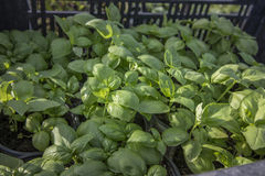 Fresh leafy green basil plants Stock Photo