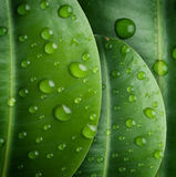 Fresh Leaves. Background of Fresh Leaves in water drops royalty free stock photos