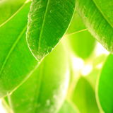 Fresh leaves. With water drops royalty free stock images