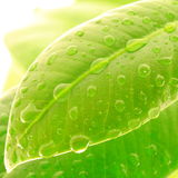 Fresh leaves. With water drops stock photography