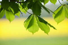 Fresh leaves Royalty Free Stock Image