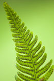 Fresh Leaves. Close up of a detailed wild leaf Royalty Free Stock Images