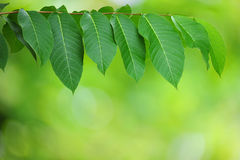 Fresh leaves Royalty Free Stock Photos
