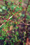 Fresh leaves on barberries twig Stock Photos