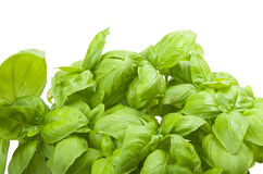 Fresh leaves of basil Royalty Free Stock Images