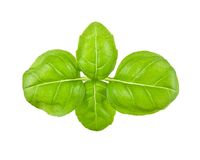 Fresh leaves of basil Stock Photos