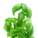 Fresh leaves of basil. Leaves of basil isolated on a white background Royalty Free Stock Photo